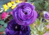 Last additions Ranunculus_asiaticus_9.jpg