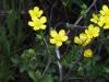 Ranunculus_sardous_-_2.JPG