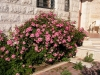 Rosa-multiflora-Nana.jpg