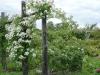 rosa-multiflora-seagull20_12354777.jpg