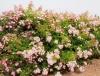 rosa_multiflora_adenochaeta.jpg