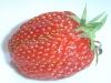 Strawberry_gariguette_DSC03063.JPG