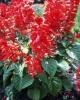 Salvia-splendens-close.JPG