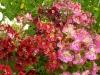 Schizanthus_x_wisetonensis.jpg