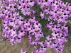 Last additions schizanthus-litoralis.jpg