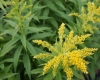 Solidago_hyb_Baby_Gold_sized.jpg