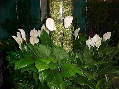 Спатифилум - Spathiphyllum снимка 1208