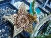 Stapelia_orbea3.jpg