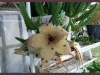 Last comments - Gabi's Gallery Stapelia_orbea4.jpg