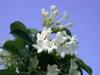 Stephanotis_(Madagascar_jasmine).jpg