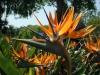 Strelitzia_reginae_BIRD_OF_PARADISE_to5ft_.jpg