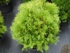 Thuja_occidentalis_Woodwardi.jpg