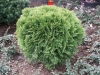 thuja_occidentalis_danica.jpg