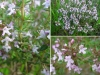 Thymus_vulgaris1.JPG