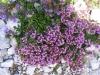 Thymus_vulgaris2.JPG