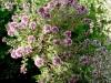 Thymus_vulgaris4.jpg