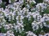 Thymus_vulgaris5.jpg