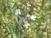 Thymus_vulgaris8.jpg