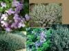 Thymus_vulgaris9.jpg