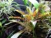 Tillandsia-Biflora.jpg