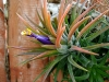 Most viewed Tillandsia.jpg
