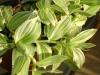 800px-Tradescantia_albiflora_(fluminensis).jpg