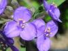 Tradescantia_gigantea_flowercloseup.jpg