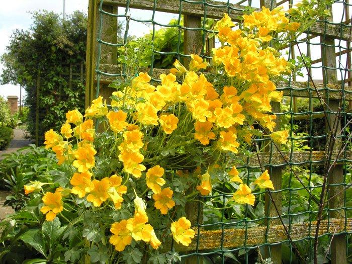 Настурция цветы вьющаяся