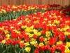800px-Tulipa.jpg