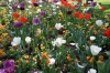 Tulipa_and_apricot_Pansies_massed_MOBOT_07.jpg