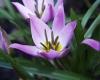Tulipa_humilis_4.JPG