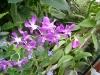 Vanilla_Planifolia1.jpg