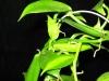 Vanilla_Planifolia5.jpg