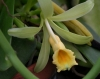 vanilla_planifolia_popup.jpg