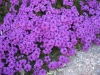 Verbena_Purple_1.JPG