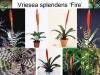 Vriesea_splendens3.jpg
