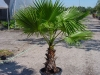 Вашингтония - Washingtonia  Washingtonia_15_gal.jpg