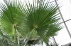 Вашингтония - Washingtonia  Washingtonia_filifera.jpg