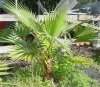 Вашингтония - Washingtonia  washingtonia_palm.jpg