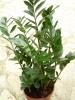 Zamioculcas_zamiifolia_1.jpg