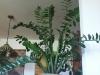 zamioculcas_zamiifolia,_050626,_03.jpg