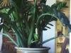 zamioculcas_zamiifolia,_050626,_07.jpg