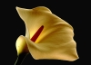 Last additions - Кала (Зантедехия) - Zantedeschia aethiopica (Calla) Zantedeschia_aethiopica1.jpg