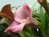 Most viewed Zantedeschia_aethiopica3.JPG