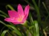 Zephyranthes_rosea.jpg