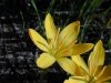 starr_021019_0004_zephyranthes_citrina.jpg