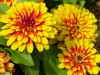 zinnia_-_medium_photo.JPG